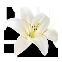 Beli cvet